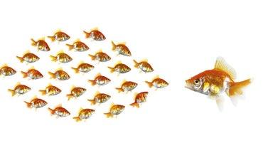 Do Goldfish Eat Other Fish?