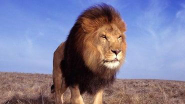 Where Do Lions Live?