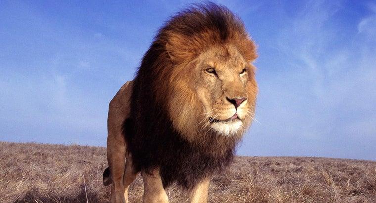lions-live