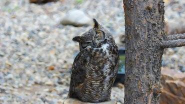 Do Owls Hibernate?