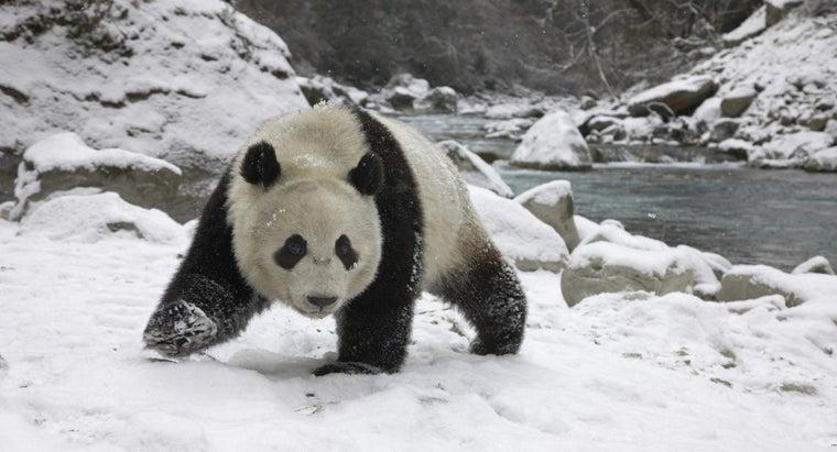 pandas-hibernate-during-winter
