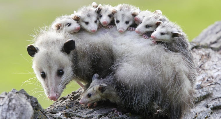 possums-sleep-upside-down