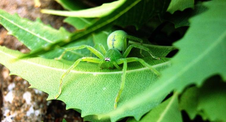 spiders-ears