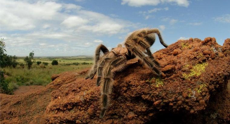 tarantulas-hibernate