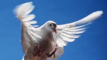 What Does a Dove Represent?