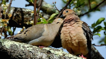 Do Doves Mate for Life?
