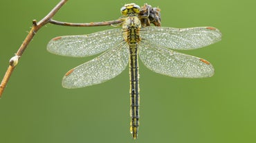 What Does the Dragonfly Symbolize?