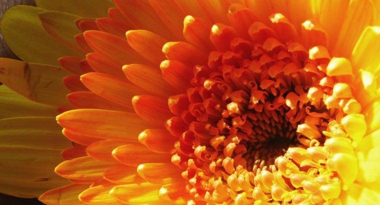 dry-gerbera-daisies