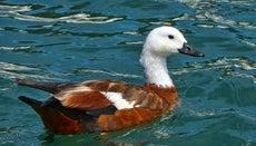 Is a Duck a Bird?
