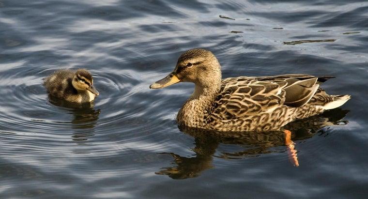 ducks-eat-fish