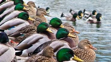 Where Do Ducks Go in the Winter?