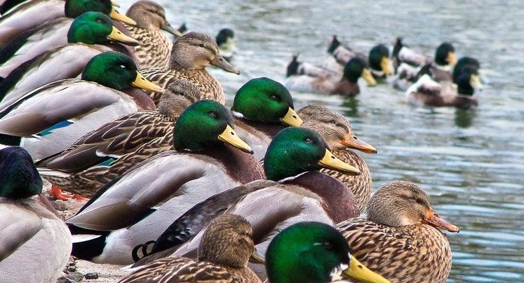 ducks-winter