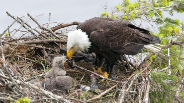 What Does an Eagle Eat?