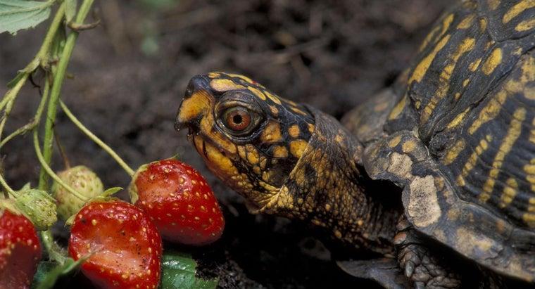eastern-box-turtles-eat