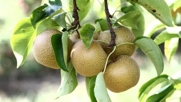 Do You Eat the Skin of an Asian Pear?