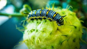 What Eats a Caterpillar?