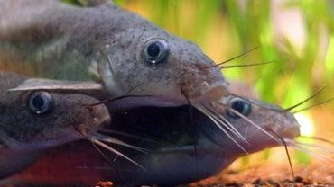 What Eats Catfish?
