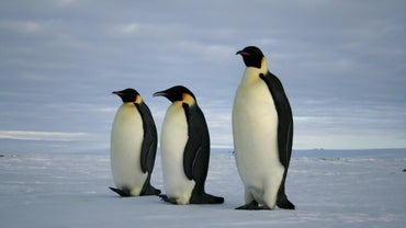 What Eats Emperor Penguins?
