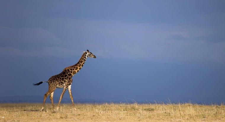 eats-giraffe