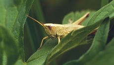 What Eats a Grasshopper in a Food Chain?