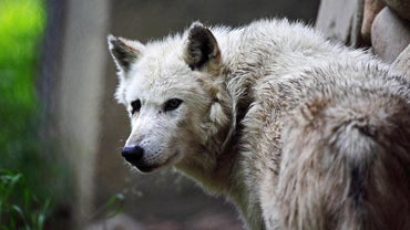 What Eats a Gray Wolf?