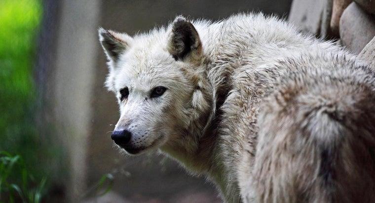 eats-gray-wolf