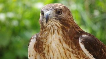 What Eats Hawks?