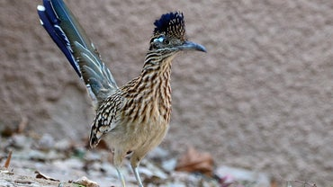 What Eats a Roadrunner?