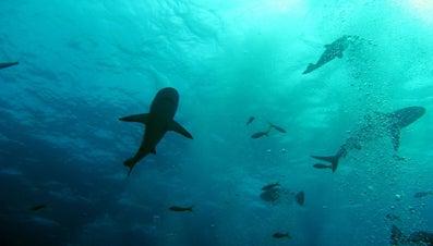 What Eats a Shark?