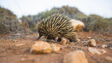 What Do Echidnas Eat?