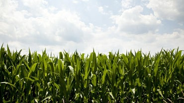 What Is the Economic Importance of Maize?