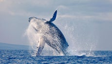 What Are the Effects of Whale Hunting?