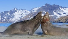 What Is the Elephant Seal Mating Ritual?