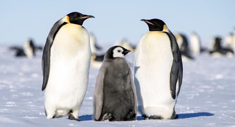 emperor-penguins-raise-young