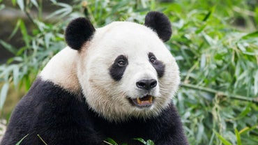 What Are Some Enemies of the Giant Panda?