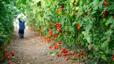 Is Epsom Salt Good for Tomatoes?