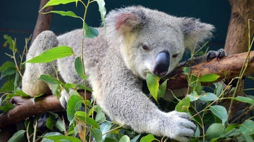 Do Eucalyptus Leaves Get Koala Bears High?