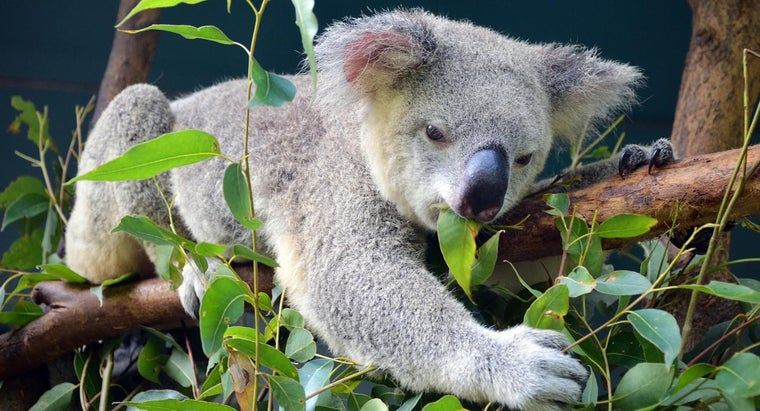 eucalyptus-leaves-koala-bears-high