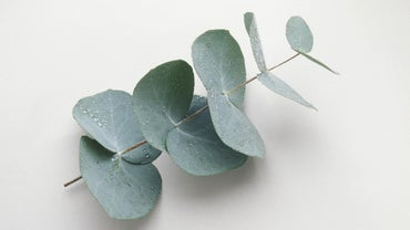 Is Eucalyptus Poisonous to Dogs?