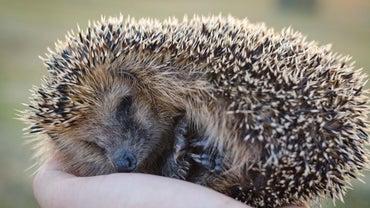 What Is a European Hedgehog?