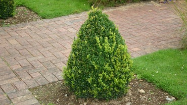 Why Do Evergreen Bushes Turn Brown?