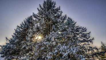 Where Are Evergreen Trees Found?