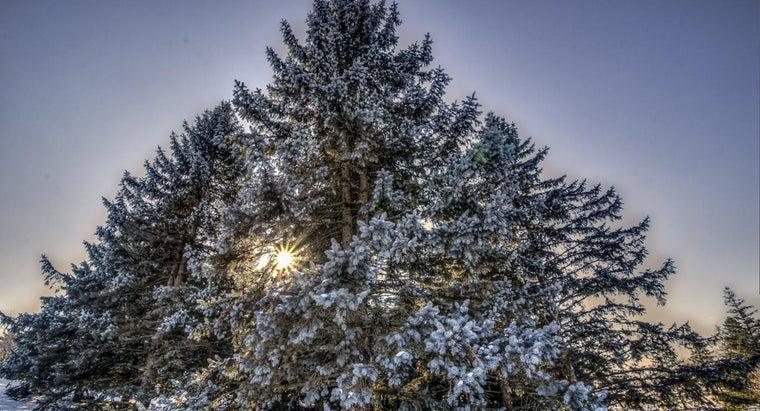 evergreen-trees-found
