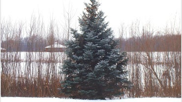 Why Do Evergreens Stay Green All Year?