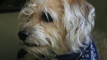 What Are Some Examples of Scruffy Dog Breeds?