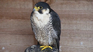 What Do Falcons Eat?