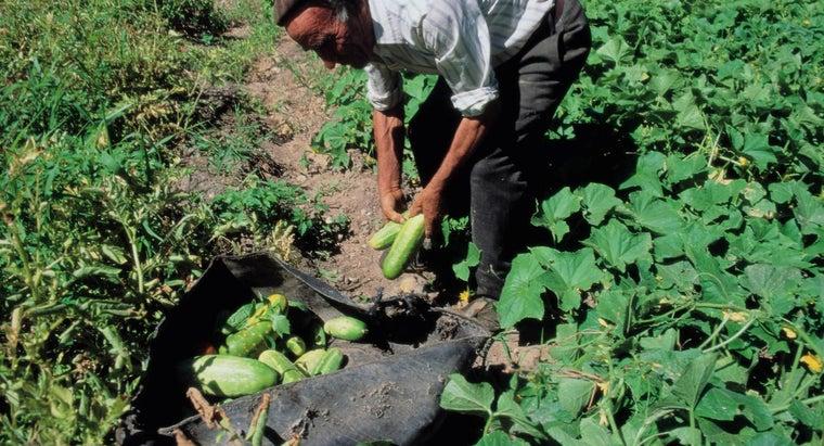 far-apart-plant-cucumbers