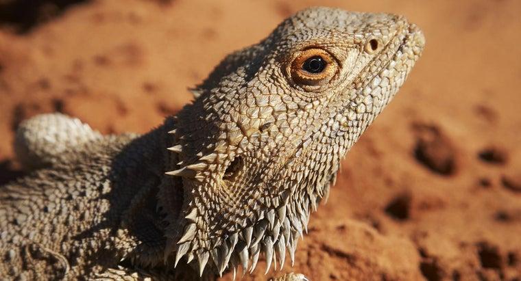 fast-bearded-dragons-grow