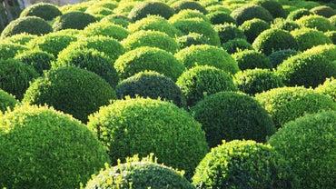 How Fast Do Boxwoods Grow?