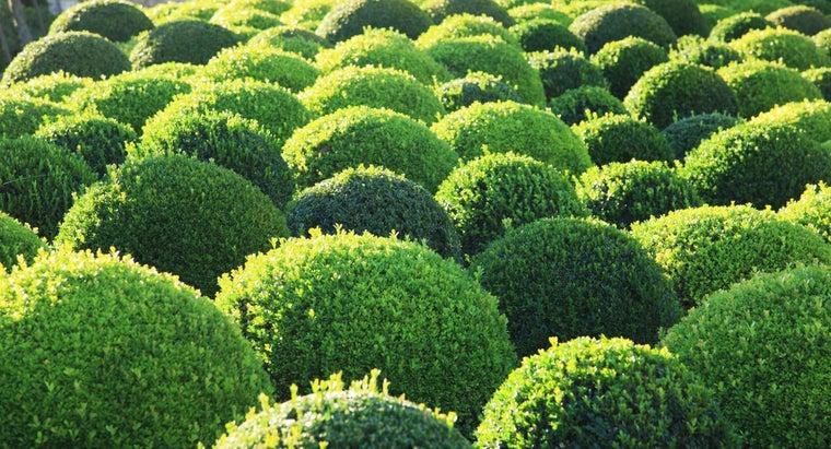 fast-boxwoods-grow